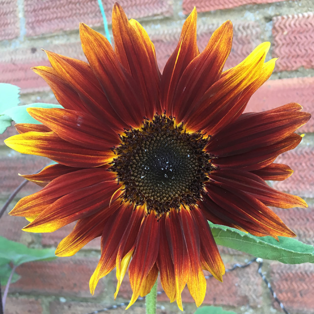A green-stemmed Black Magic sunflower whose petals are red with yellow tips